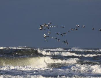 Vogelwelt Ostfrieslands im Konfliktfeld zwischen Ökologie und Ökonomie